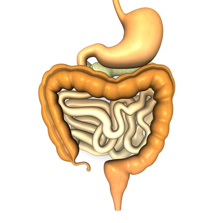 large intestine: 3d render of digestive system
