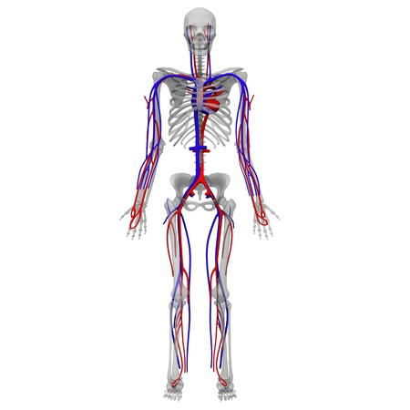 3D render van de bloedsomloop