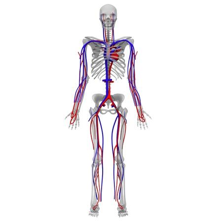 circolazione: 3D rendering di sistema circolatorio