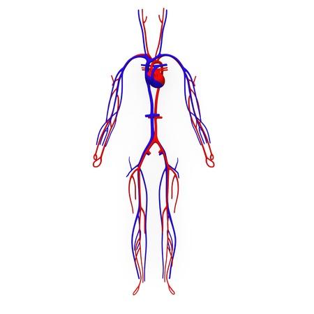 Imagenes del sistema circulatorio facil para dibujar - Imagui