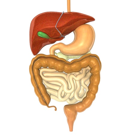 sistema: 3d del sistema digestivo