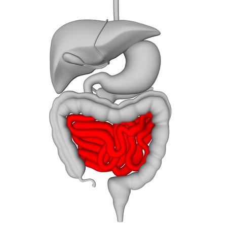 gallbladder: 3d render of digestive system