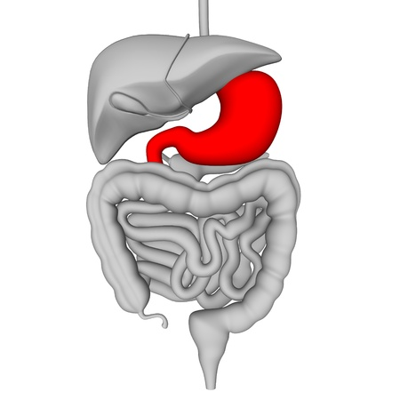 3d render of digestive system Stock Photo - 12894740