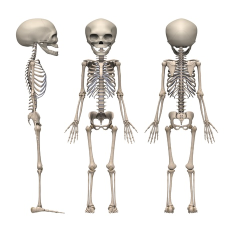 3d render of fetus skeleton Stock Photo - 12895083