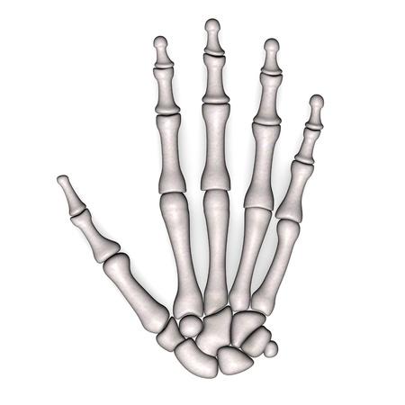 3d render of hand bones
