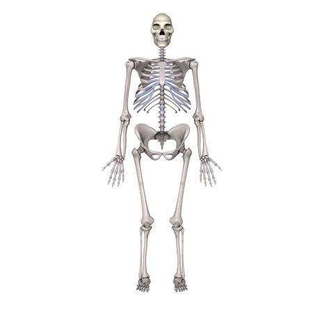 erectus: 3d de homo erectus