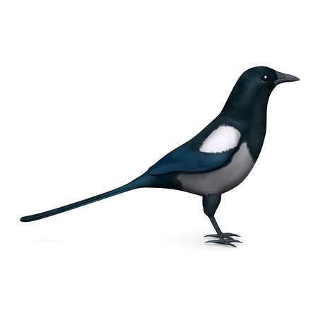 3d render of magpie bird