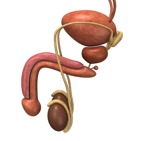 reproductive system: 3d render of male reproductive