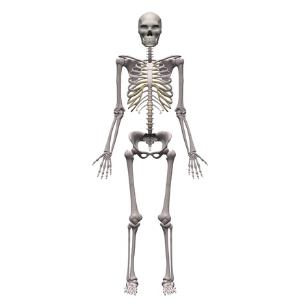 skeletal: 3d render of male skeleton