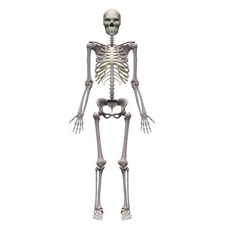 3d render of male skeleton