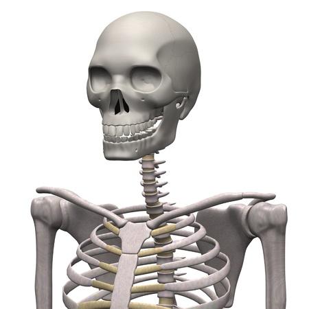 3d render of male skeleton photo