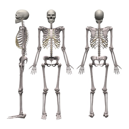 skeleton: 3d render of male skeleton