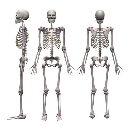 3D render van mannelijke skelet Stockfoto