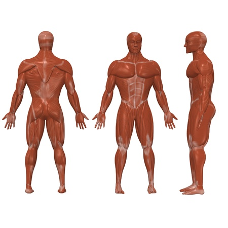 muscular system: 3d render of human muscles