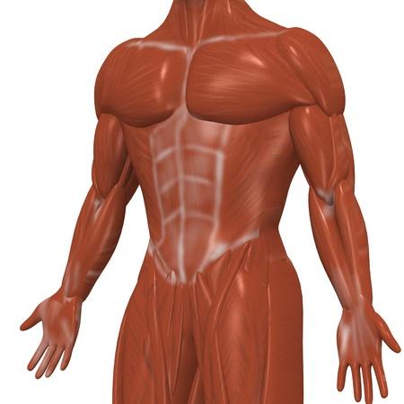 3d De Músculos Humanos Fotos, Retratos, Imágenes Y Fotografía De ...