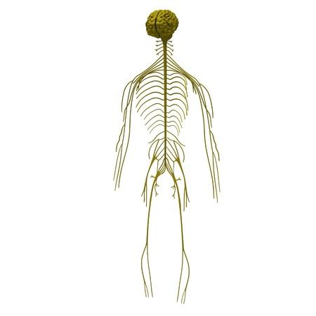 nerveux: 3d render de syst�me nerveux