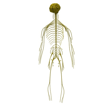 cns: 3d render of nervous system