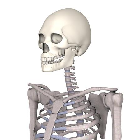 skeletal system: 3d render of female skeleton