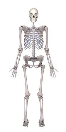 3d framför kvinnliga skelett