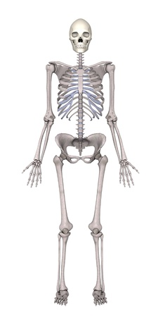 3d render of female skeleton photo