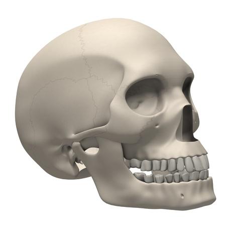 3d render of human skull photo