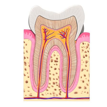 cementum: 3d render of teeth anatomy Stock Photo