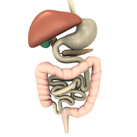 small intestine: 3d render of digestive system  Stock Photo