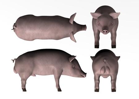 male pig: 3d render of male pig