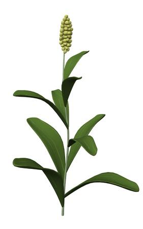 3d render of sorghum plant