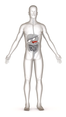 3d render of artificial character with digestive system Stock Photo - 13736496