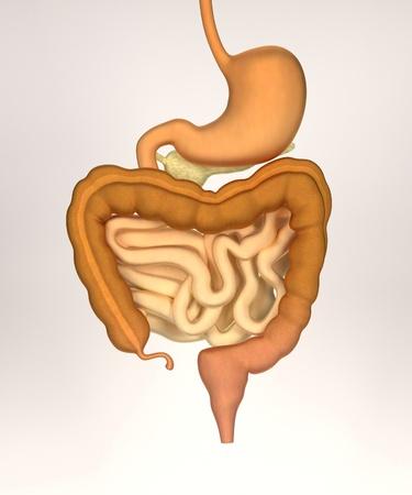 rectum: 3d render of digestive system