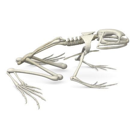 3d render of frog skeleton photo