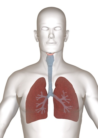 respiratory: 3d render of artificial character with lungs