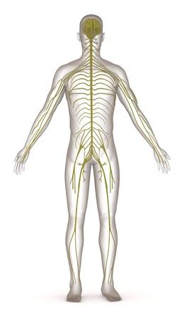 Rendu 3d de caractère artificiel du système nerveux Banque d'images