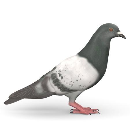 3d render of pigeon bird Stock Photo - 13742361