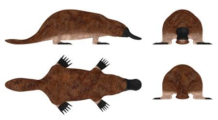 platypus: 3d render of platypus animal Stock Photo