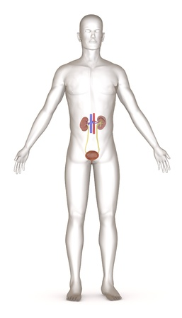 3d render of artifical character with urinary system photo