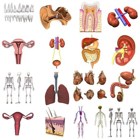 sistema reproductor femenino: colecci�n de renders 3D - �rganos Foto de archivo