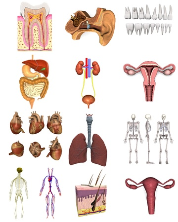 sistema digestivo: colección de renders 3D - órganos femeninos