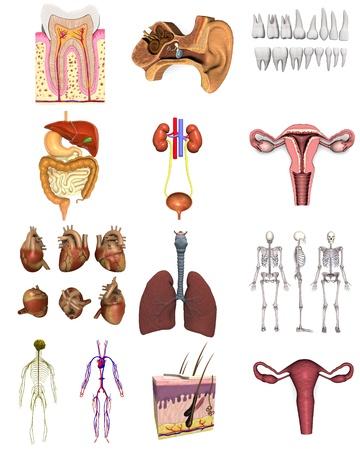 apparato riproduttore: collezione di 3D rende - organi femminili