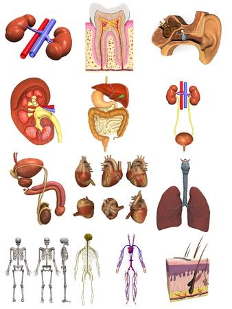 sistema digestivo: colecci�n de renders 3D - �rganos masculinos