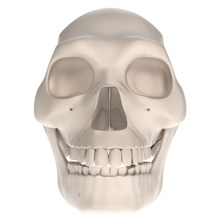 erectus: realistic 3d render of homo erectus skull