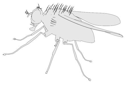 musca domestica: cartoon illustration of home fly Stock Photo