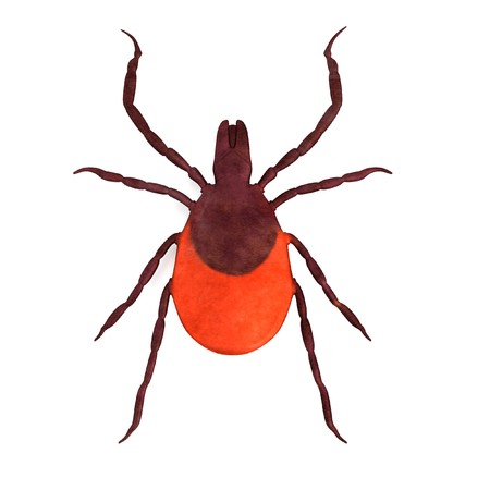 realistic 3d render of tick female photo