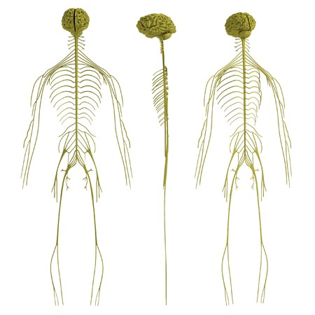 nervous system: realistic 3d render of nervous system Stock Photo
