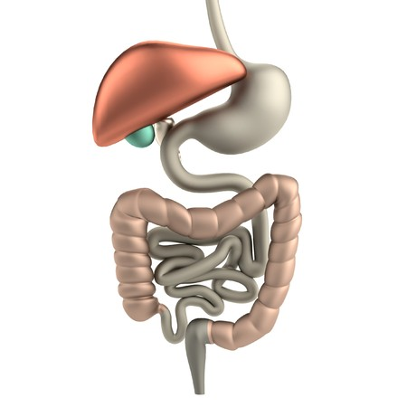 realistic 3d render of digestive system photo