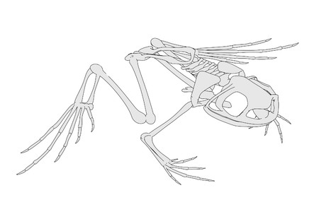 cartoon image of frog skeleton photo