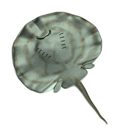 stingray: realistic 3d render of stingray