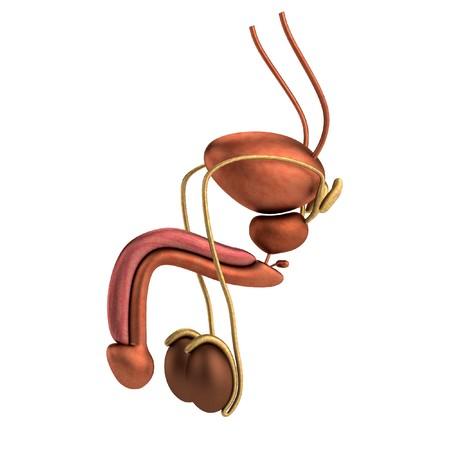 testiculos: realistas 3D del reproductor masculino