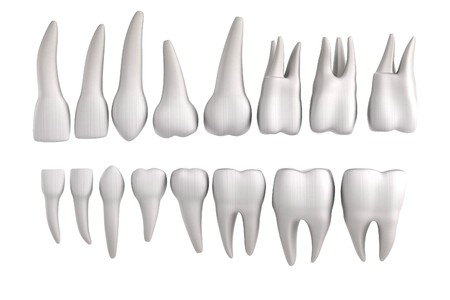 premolar: realistic 3d render of human teeth